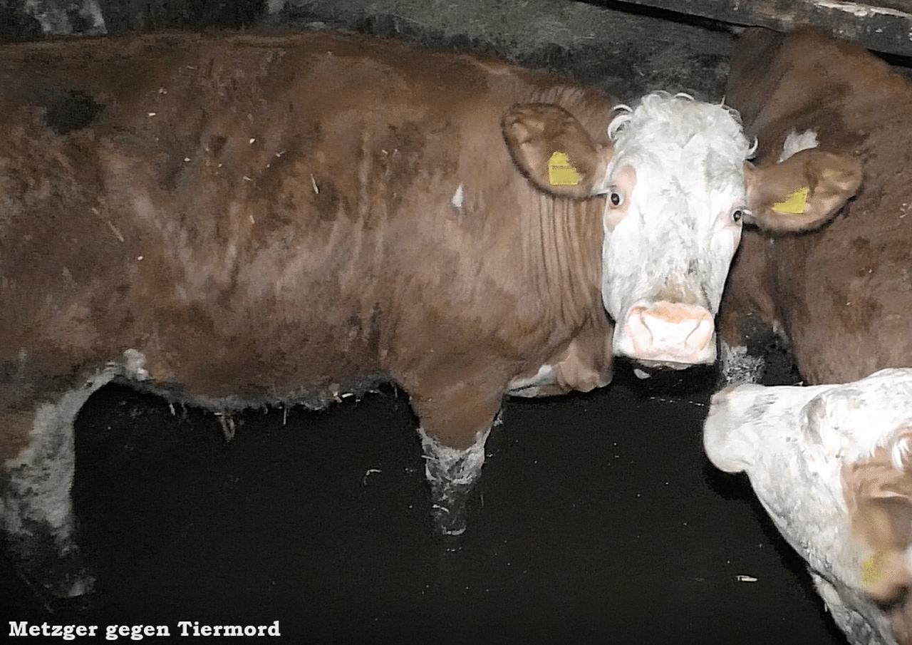 20-03-09 Kuh knöcheltief in Gülle - Nebenhof - 02_ergebnis