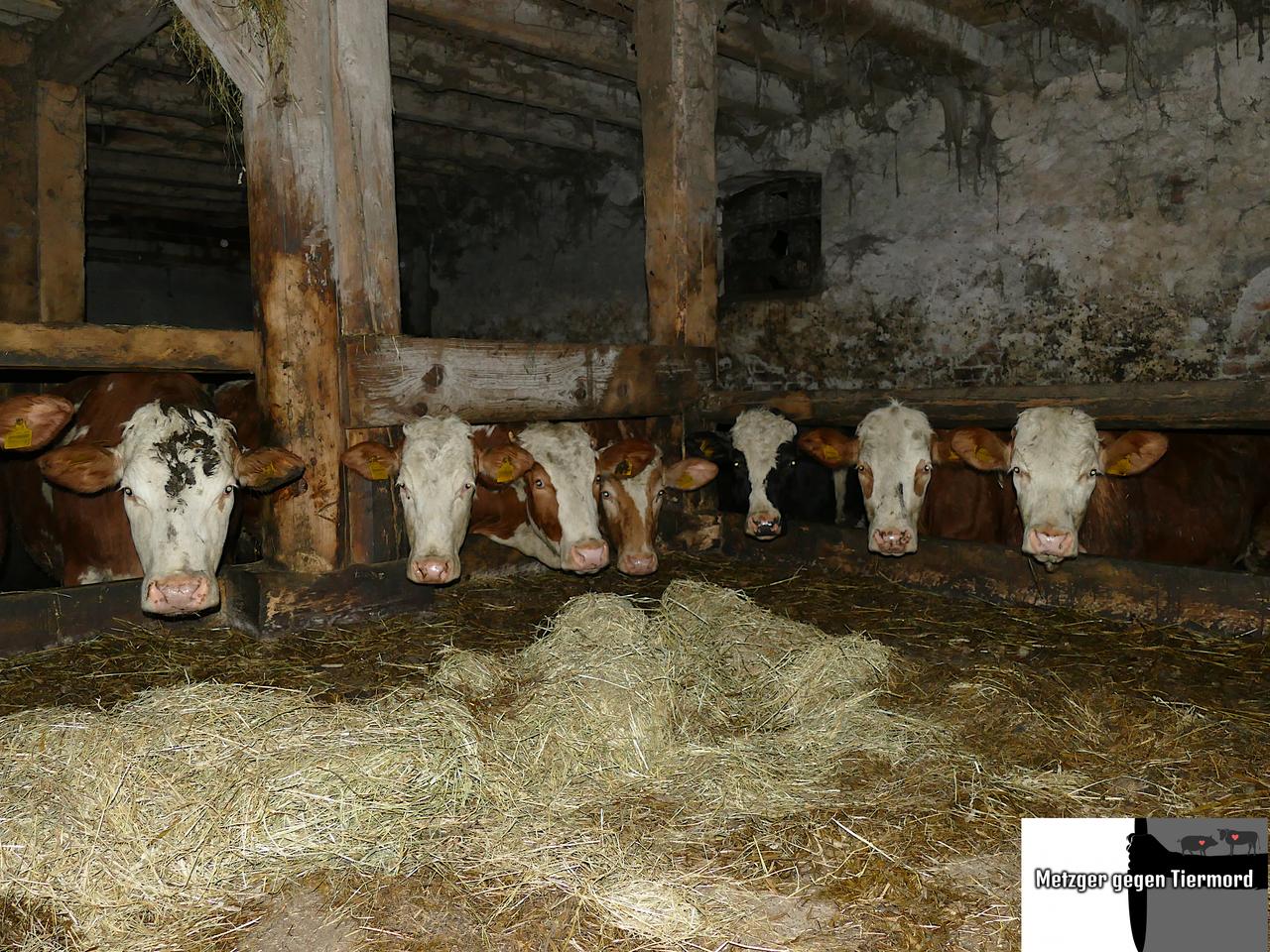 20-03-10 Rinder an Futtertisch - Nebenhof -_ergebnis