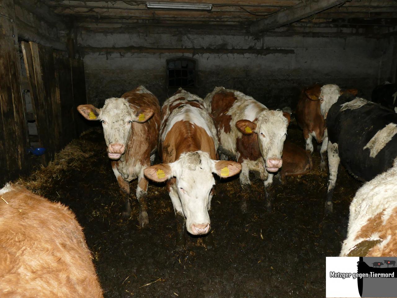 20-03-10 Rinder im Mist - Nebenhof -_ergebnis